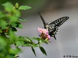 Papilio xuthus DSC_1795
