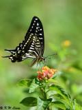Papilio xuthus DSC_1634