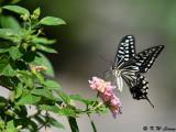 Papilio xuthus DSC_1740