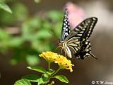 Papilio_xuthus_DSC_1775
