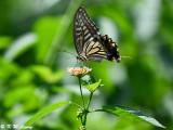 Papilio xuthus DSC_1899