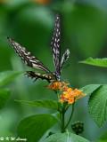 Papilio xuthus DSC_2002