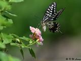 Papilio xuthus DSC_1809