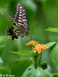 Papilio xuthus DSC_2013