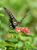 Papilio xuthus DSC_1661