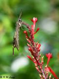 Papilio xuthus DSC_3269