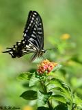 Papilio xuthus DSC_1636