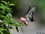 Papilio xuthus DSC_1741