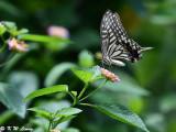 Papilio xuthus DSC_1999