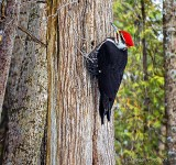 Pileated Woodpecker DSCN03696