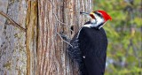 Pileated Woodpecker DSCN03708