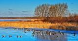 Migrating Geese DSCN03730