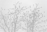 Two Trees In Fog Full Of Blackbirds DSCN04034