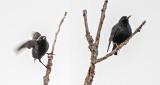 Two Starlings DSCN04108