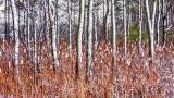 Snowy Cattails & Trees DSCN04203-5