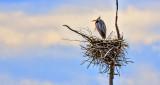Heron On Its Nest DSCN04290