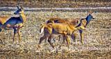 Deer In Cornfield DSCN04650