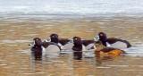 Ring-necked Ducks DSCN04131