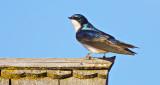 Tree Swallow Atop A Birdhouse DSCN05074
