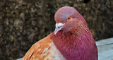 Pretty Pigeon DSCN05140
