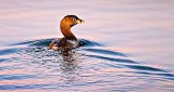 Swimming Grebe At Sunrise P1190370