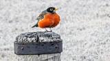 Robin On A Piling DSCN04954