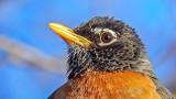 Robin Up Close DSCN05815