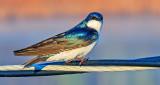 Swallow On A Wire DSCN06131