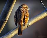 Getting The Song Sparrow Cold Shoulder DSCN05584