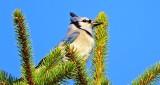 Blue Jay Atop A Pine Tree DSCN06694