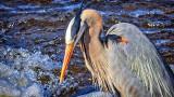 Heron Closeup DSCN06371