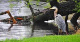 Canalside Heron DSCN06902