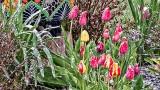 Snowy Tulips DSCN07216
