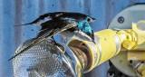 Tree Swallow Taking Flight DSCN07532
