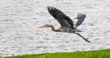 Heron Taking Flight DSCN8263
