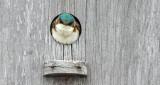 Swallow In A Birdhouse DSCN08474