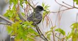Kingbird In A Tree DSCN07864