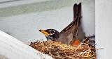 Robin On Nest DSCN08516