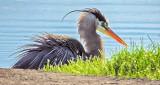Rufffled Heron DSCN08549