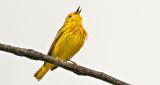Yellow Warbler Warbling DSCN08670