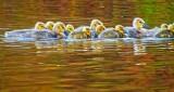 Gosling Flotilla DSCN08313