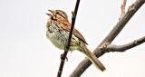 Song Sparrow Singing DSCN08679