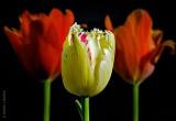 Three Tulips DSCN08622