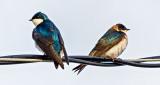 Tree Swallow Cold Shoulder DSCN08744