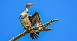 Stretching Cormorant DSCN09008