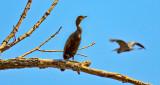 Heron Photobomb DSCN08971