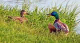 Ducks On Shore DSCN09444