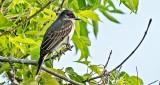 Eastern Kingbird DSCN10259