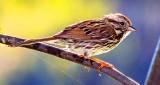 Song Sparrow Posing_DSCN10373.jpg