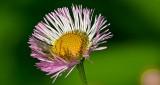 Wildflower DSCN10397